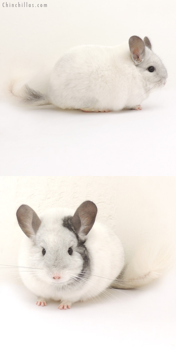 14070 Large Show Quality Extreme Mosaic Female Chinchilla