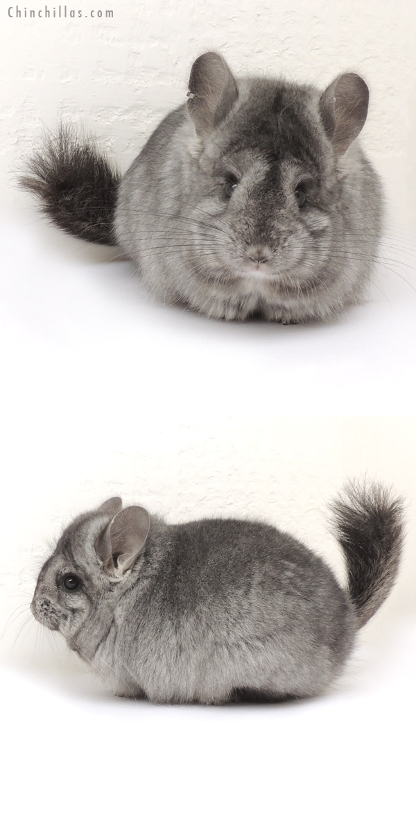 14071 Standard ( Ebony Carrier ) CCCU Royal Persian Angora Female Chinchilla