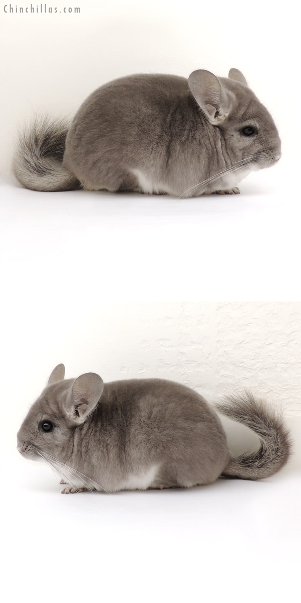 14075 Premium Production Quality Violet Female Chinchilla