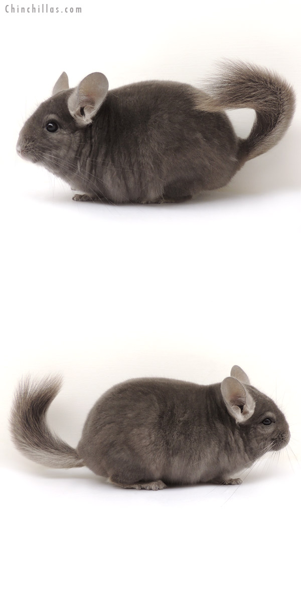 14076 Premium Production Quality Wrap Around Violet Female Chinchilla