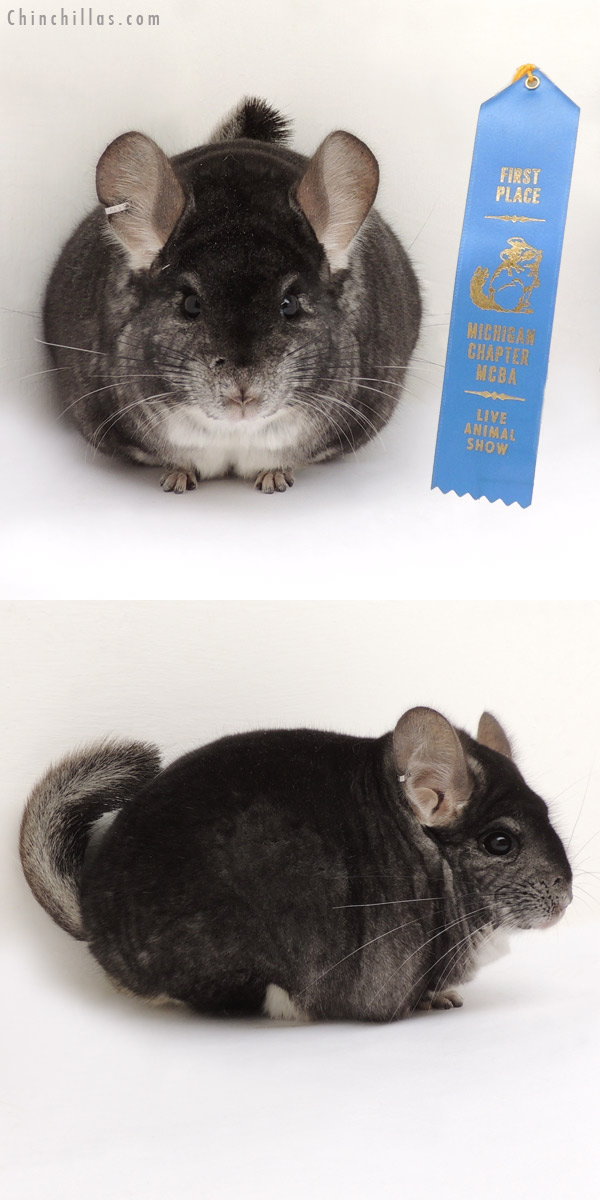 14080 Large 1st Place Standard Male Chinchilla