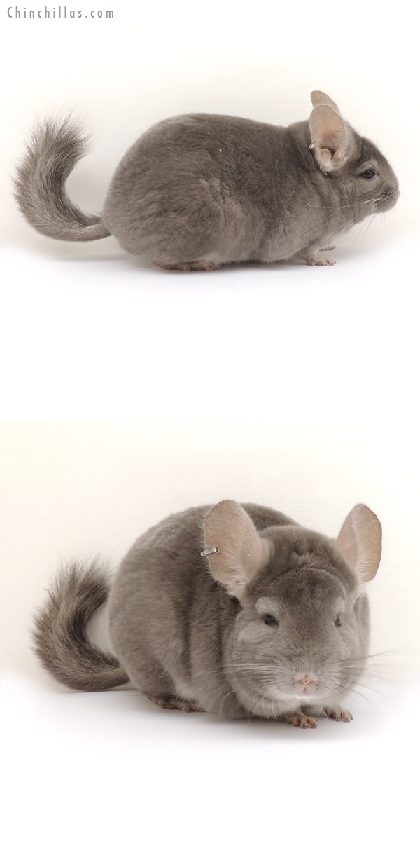 14086 Large 1st Place Violet ( Ebony Carrier ) Male Chinchilla