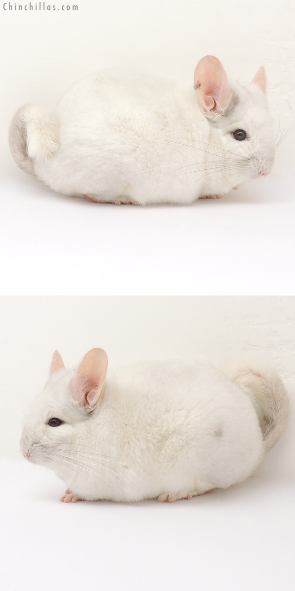 14088 Large 1st Place Pink White Male Chinchilla