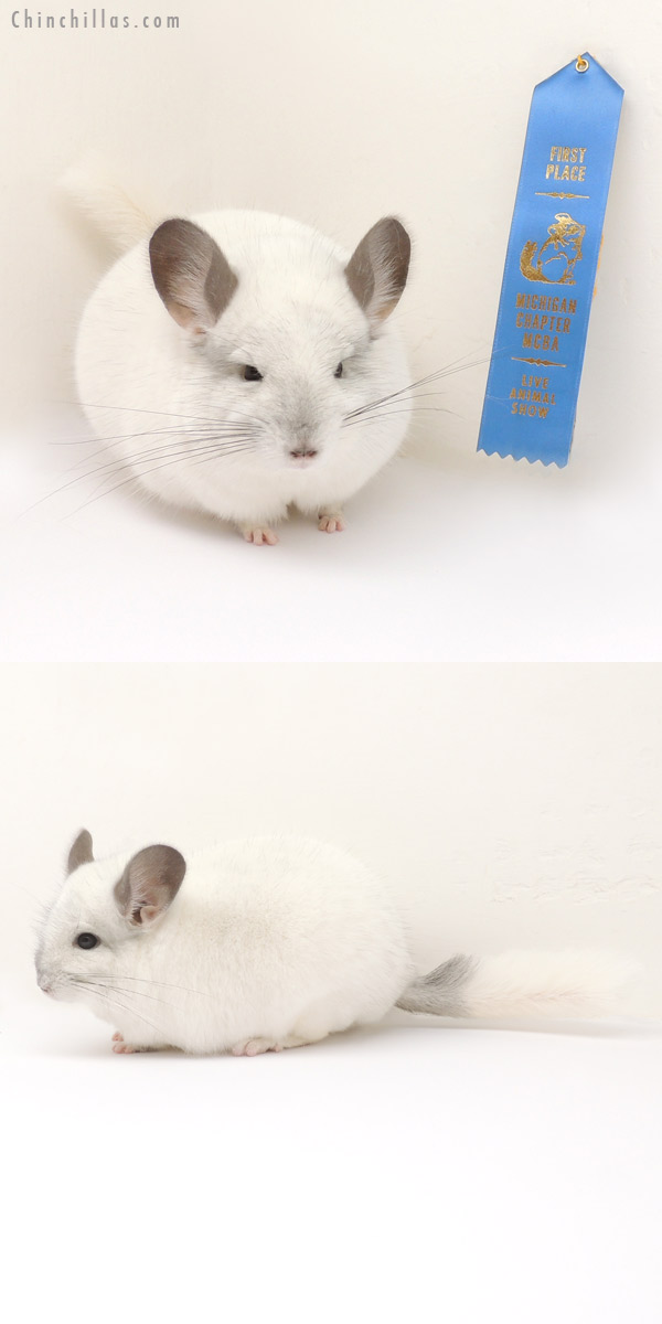 14090 Phase Champion Predominantly White Male Chinchilla