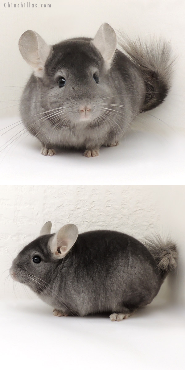 14106 Show Quality 5R9 Wrap Around Sapphire Male Chinchilla
