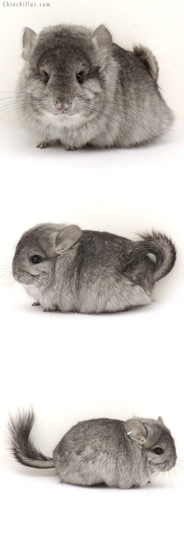 14113 Standard Royal Persian Angora Female Chinchilla