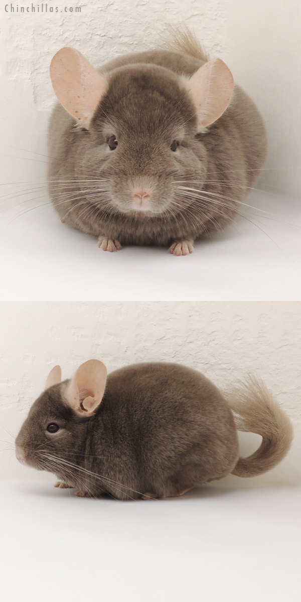 14110 Show Quality Tan Female Chinchilla