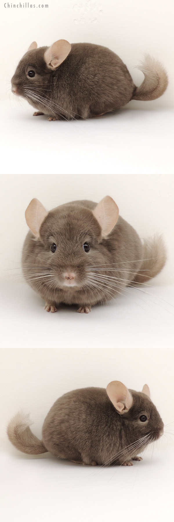 14120 Dark Tan (Locken Carrier) Female Chinchilla