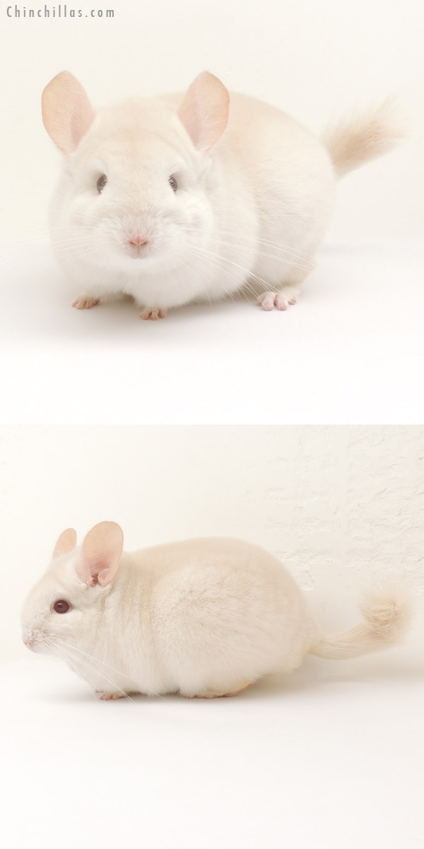 14114 Exceptional Goldbar Female Chinchilla