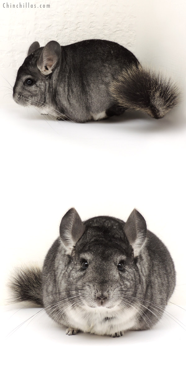 14115 Large Premium Production Quality Standard Female Chinchilla