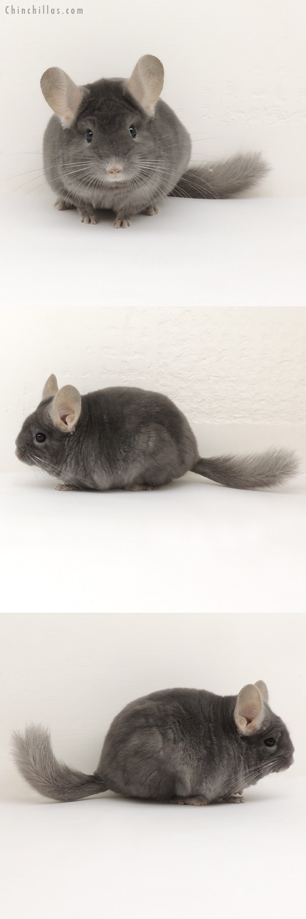 14109 TOV Wrap Around Sapphire Female Chinchilla