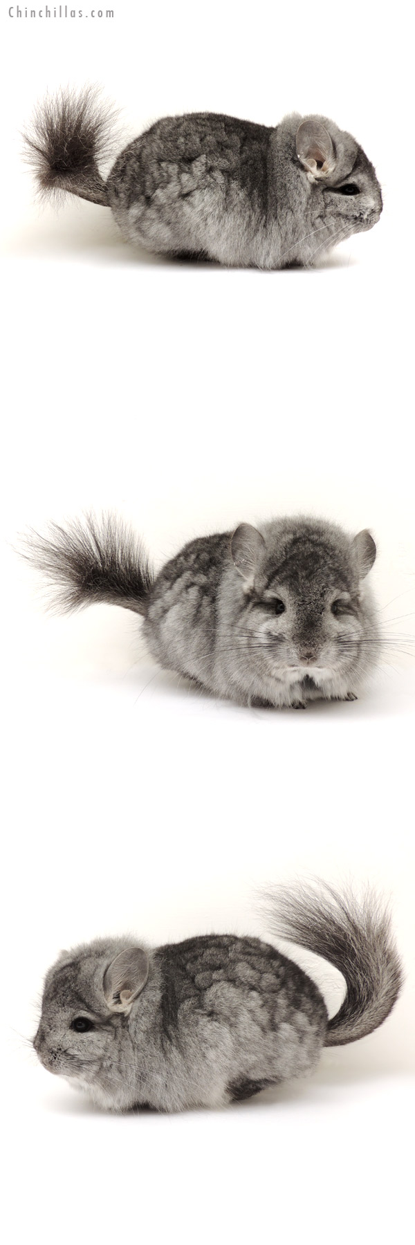 14117 Standard Royal Persian Angora Male Chinchilla