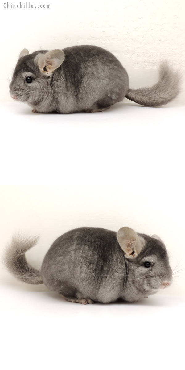 14119 Blocky Premium Production Quality Wrap Around Sapphire Female Chinchilla