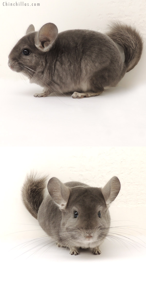 14129 Show Quality Violet ( Ebony Carrier ) Male Chinchilla