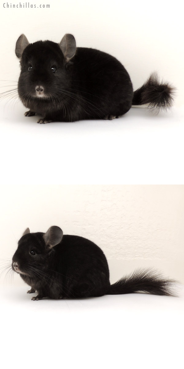14122 Herd Improvement Quality Ebony Male Chinchilla