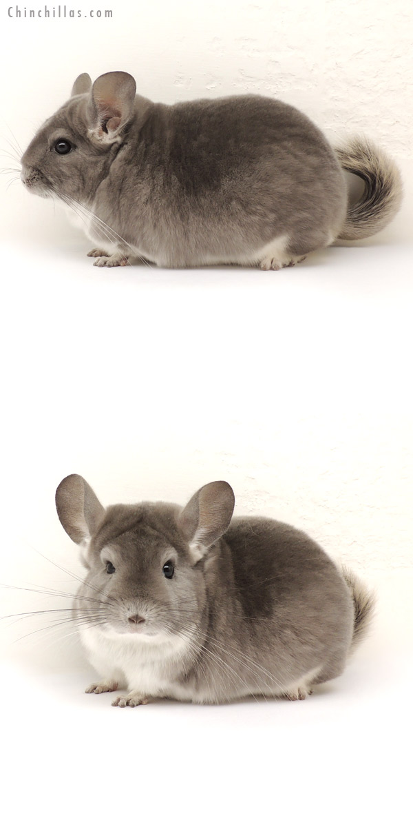 14126 Large, Blocky Premium Production Quality Violet Female Chinchilla