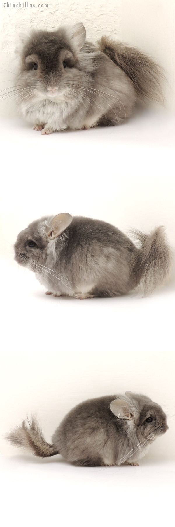 14130 Exceptional Violet CCCU Royal Persian Angora Male with Lion Mane Chinchilla