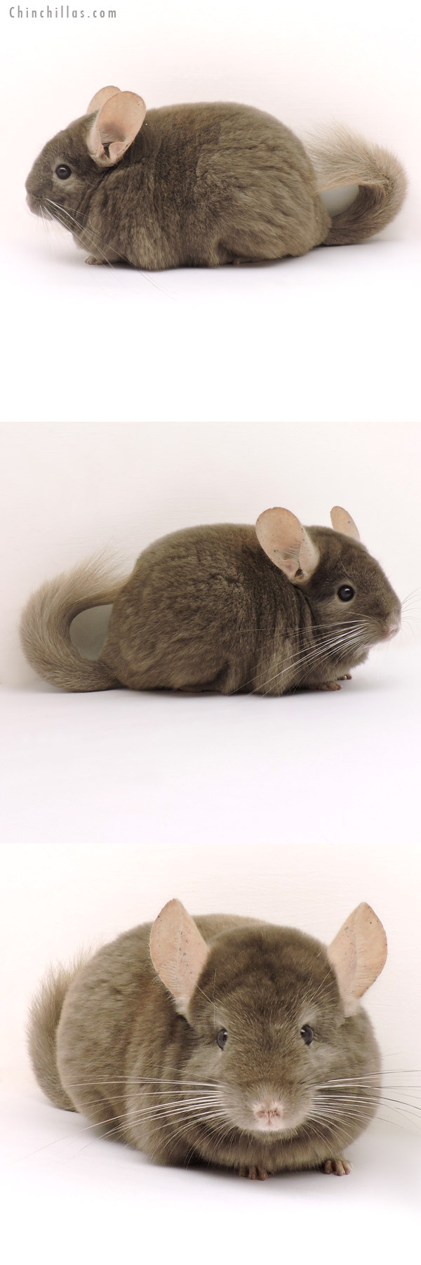 14140 Show Quality Tan Female Chinchilla