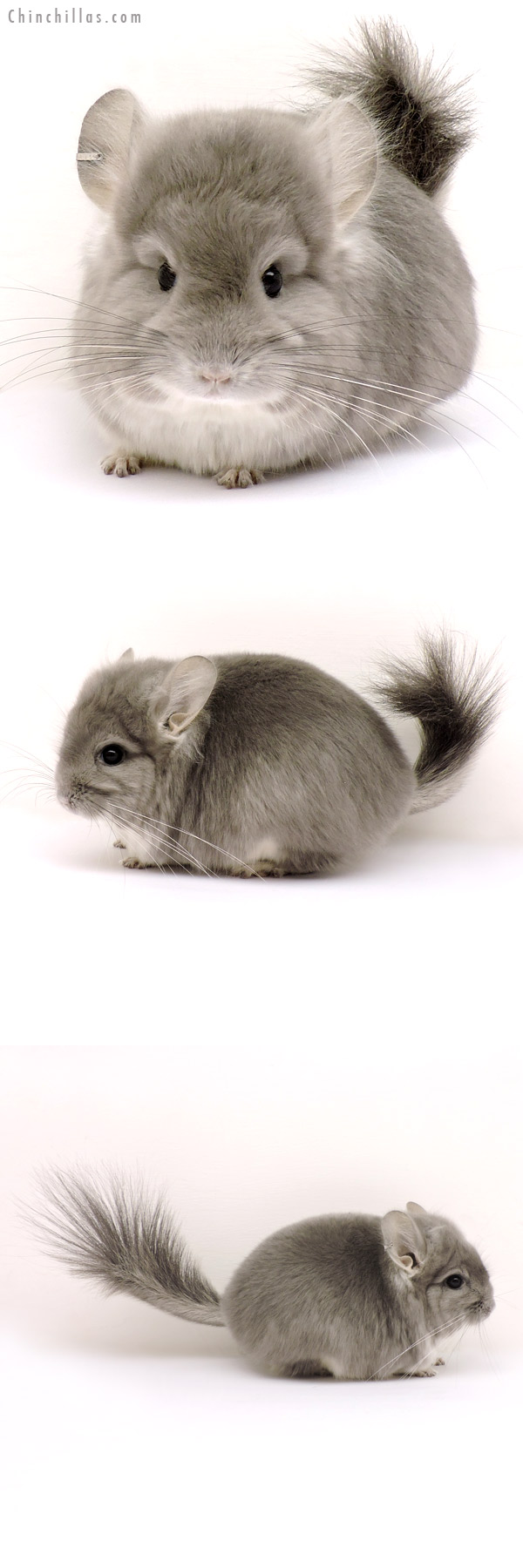 14154 Exceptional Violet CCCU Royal Persian Angora Male Chinchilla