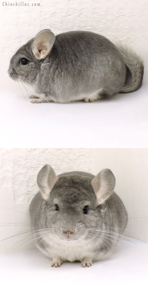 14165 Premium Production Quality Sapphire Female Chinchilla