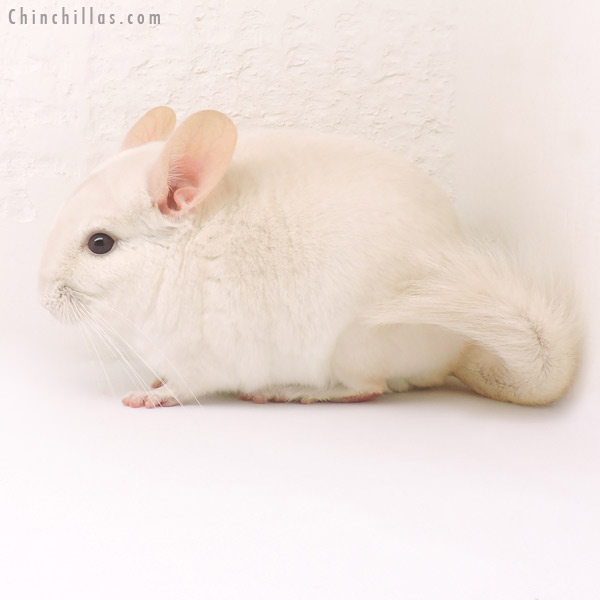 14162 Goldbar Male Chinchilla
