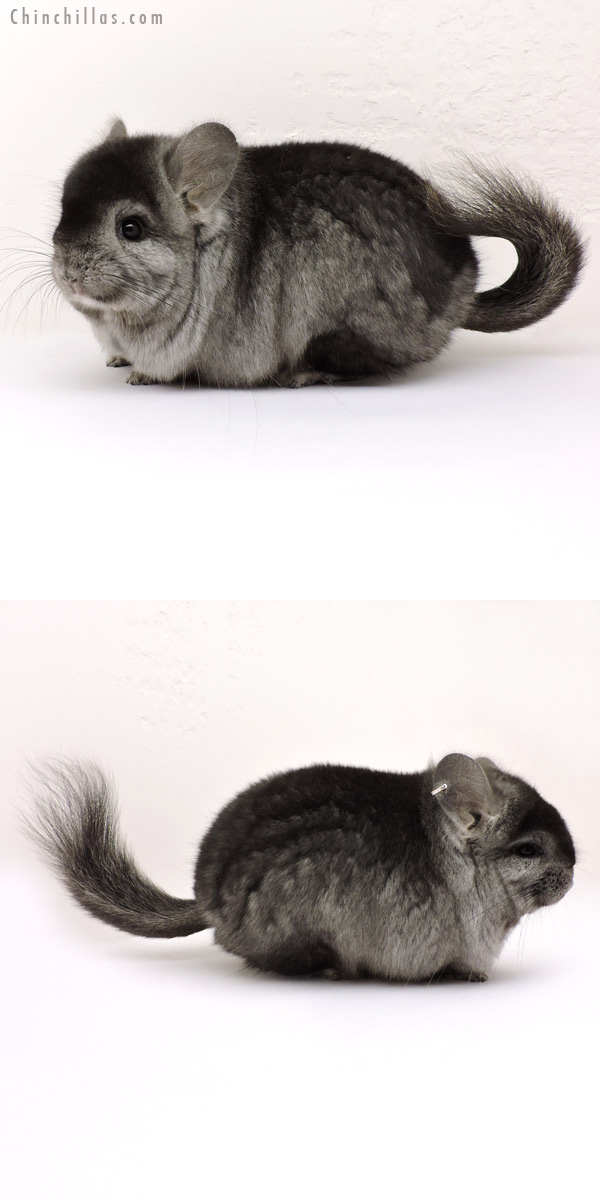 14160 Exceptional Ebony CCCU Royal Persian Angora Male Chinchilla
