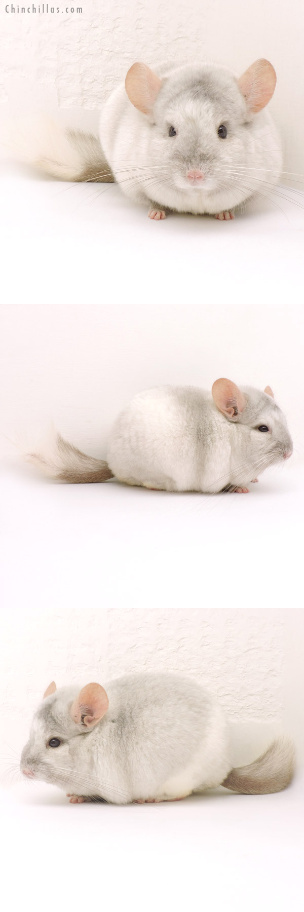 14161 Show Quality Tan & White Mosaic Male Chinchilla