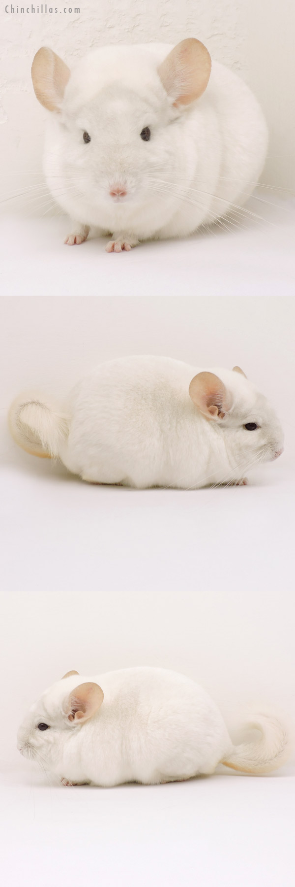 14169 Blocky, Herd Improvement Quality Pink White ( Violet Carrier ) Male Chinchilla