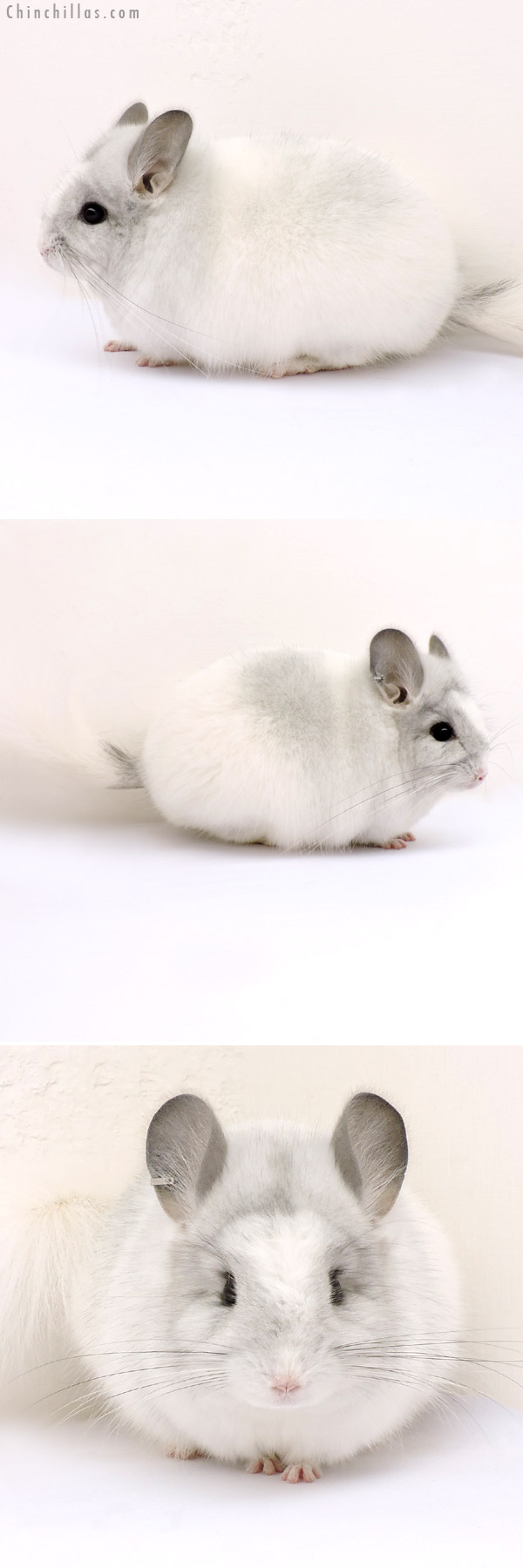 14188 Silver Mosaic Royal Persian Angora Male Chinchilla
