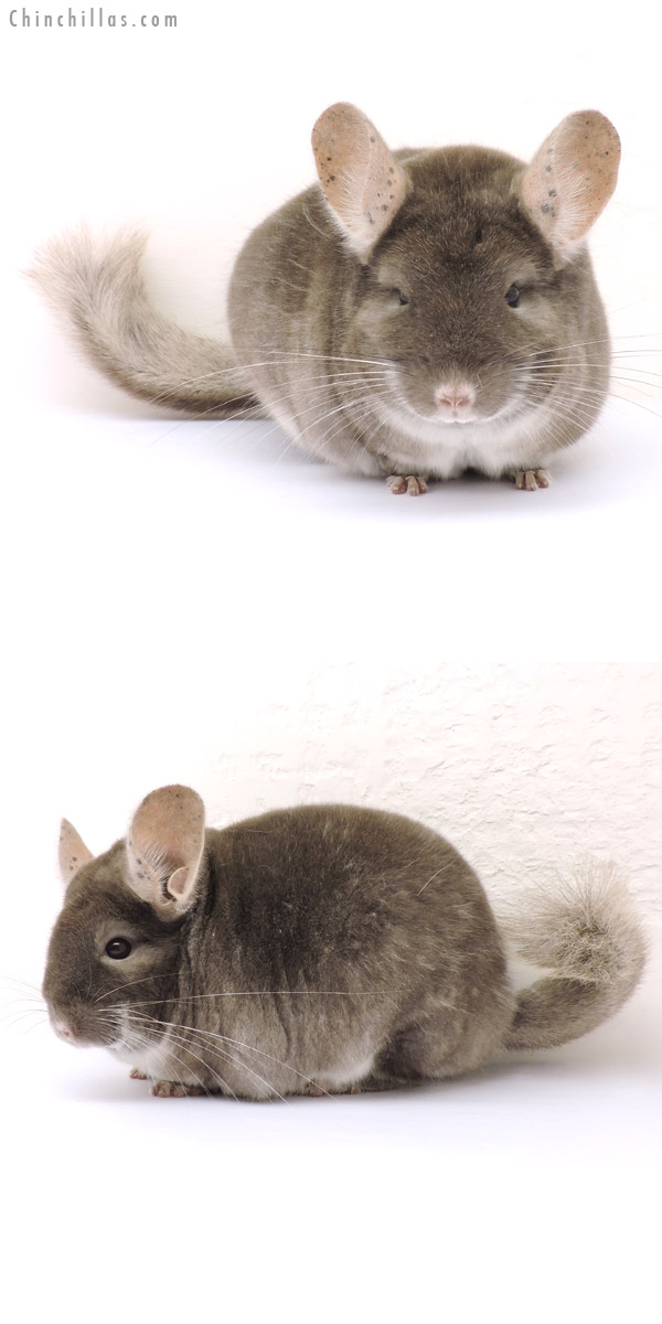 14186 Large Show Quality TOV Beige Female Chinchilla