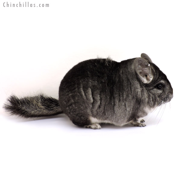 14193 Large, Multi Champion Standard Male Chinchilla