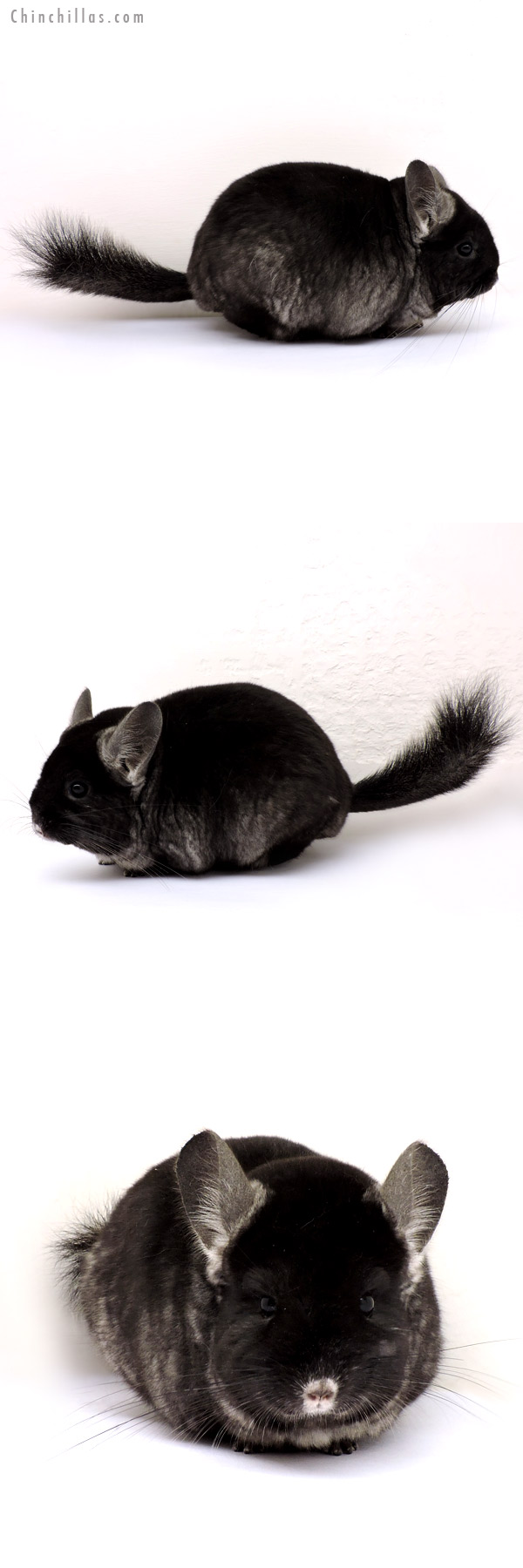 14196 Extra Large TOV Ebony Female Chinchilla
