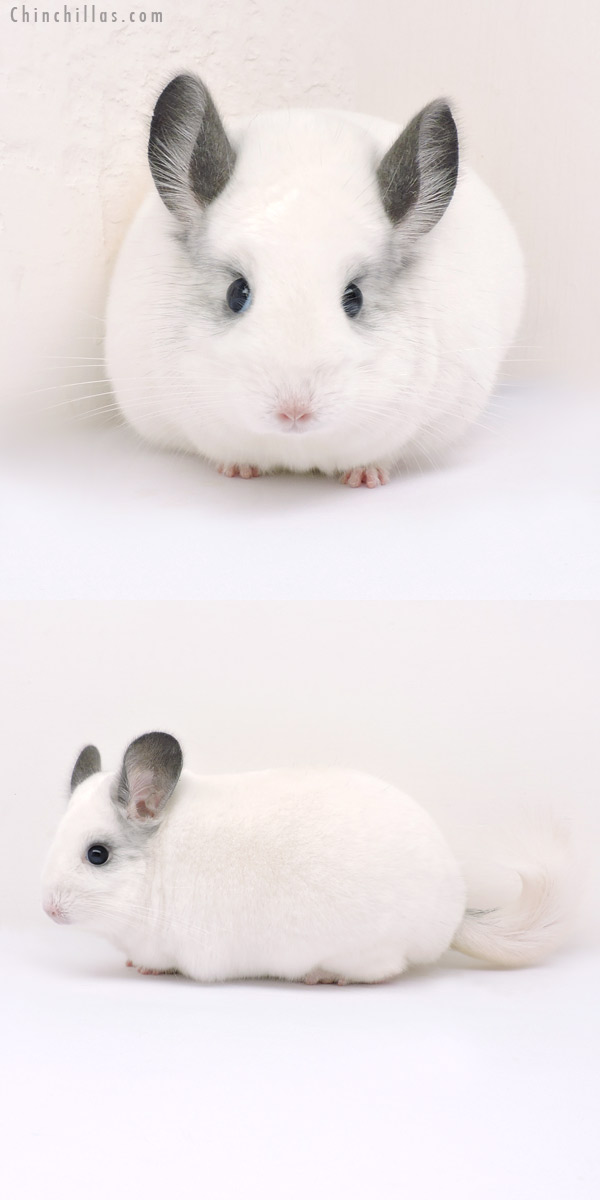 14203 Large Premium Production Quality Predominantly White Female Chinchilla