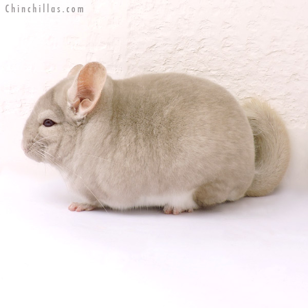 14192 Blocky, Phase Champion Homo Beige Male Chinchilla