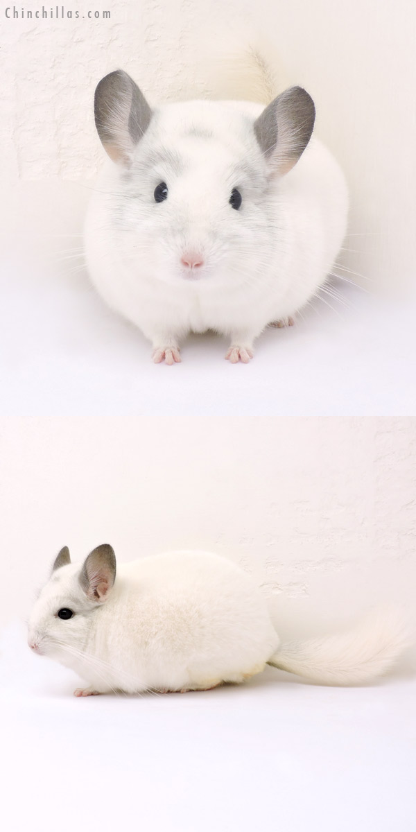 14202 Show Quality White Mosaic Male Chinchilla