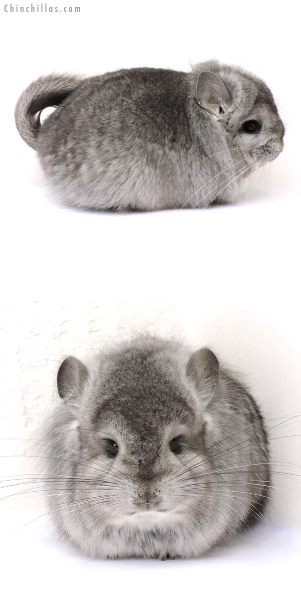 14209 Exceptional Light Hetero Ebony CCCU Royal Persian Angora Male Chinchilla