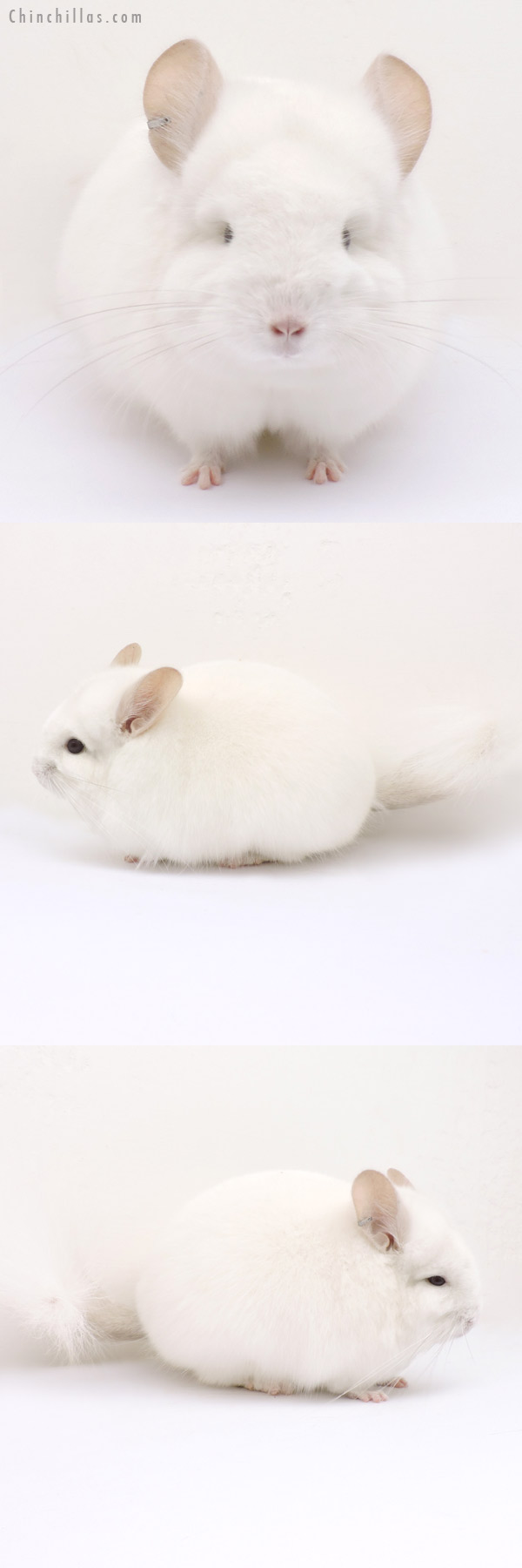 14212 Exceptional Pink White CCCU Royal Persian Angora Male Chinchilla