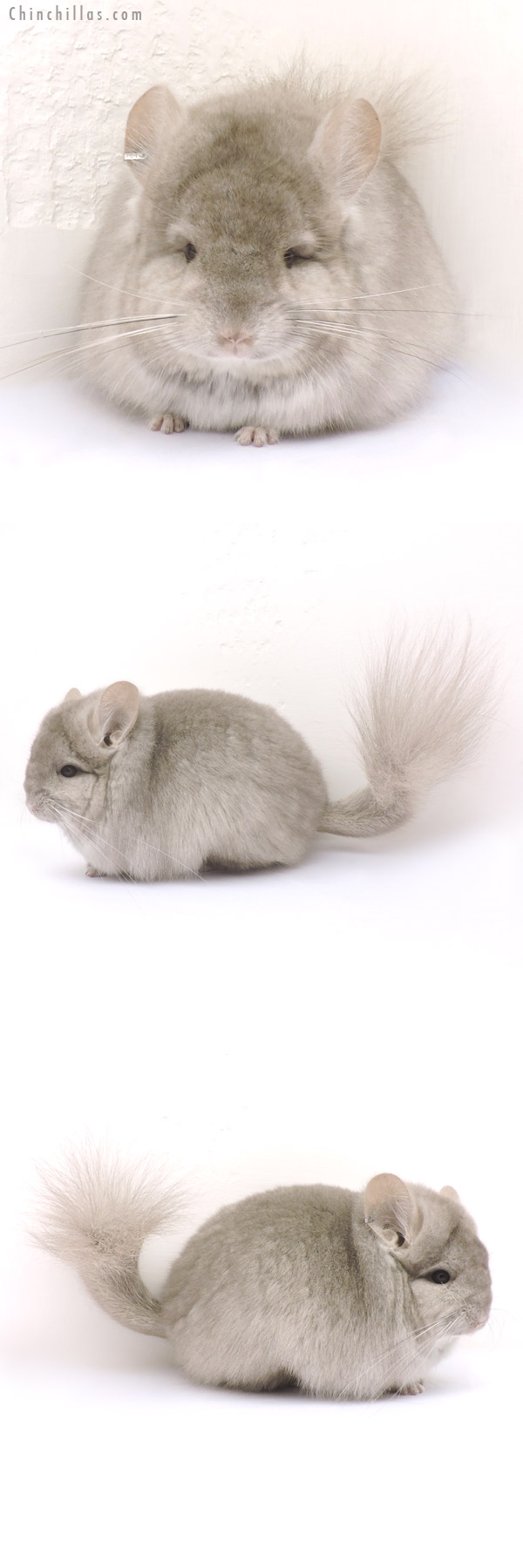 14214 Exceptional Beige CCCU Royal Persian Angora Female Chinchilla