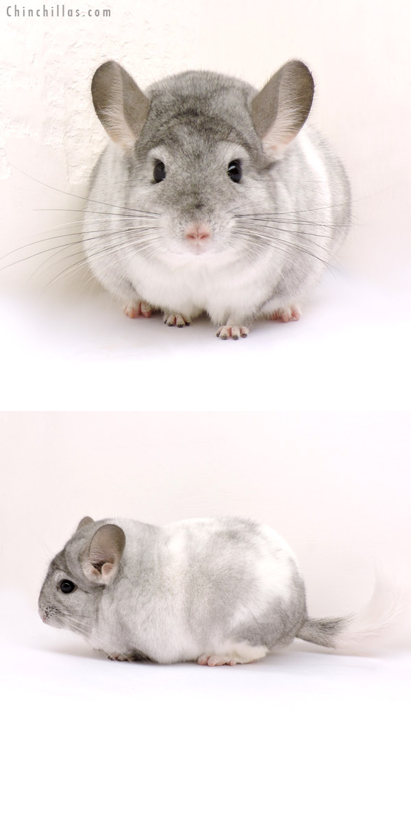 14219 Blocky Herd Improvement Quality White Mosaic Male Chinchilla