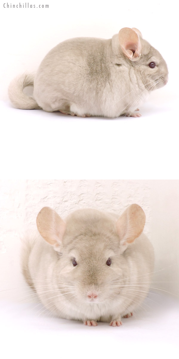 14225 Large Blocky Premium Production Quality Homo Beige Female Chinchilla
