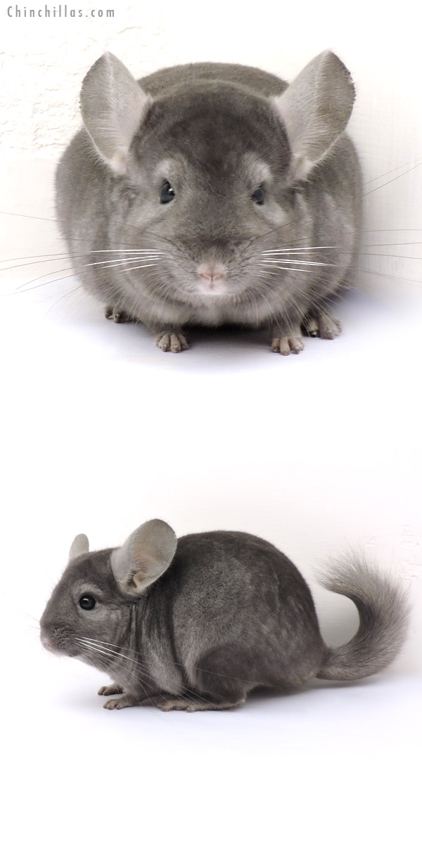14210 Show Quality Wrap Around Sapphire Male Chinchilla