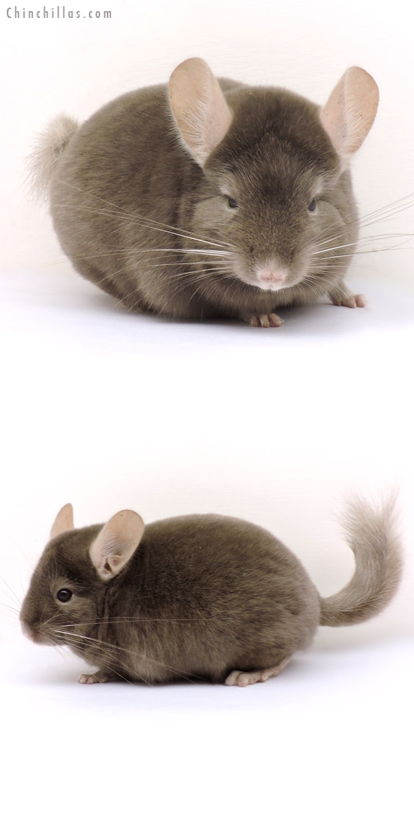14216 Show Quality Tan Female Chinchilla