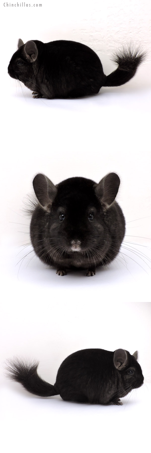 14217 Large Blocky Herd Improvement Quality Ebony Male Chinchilla