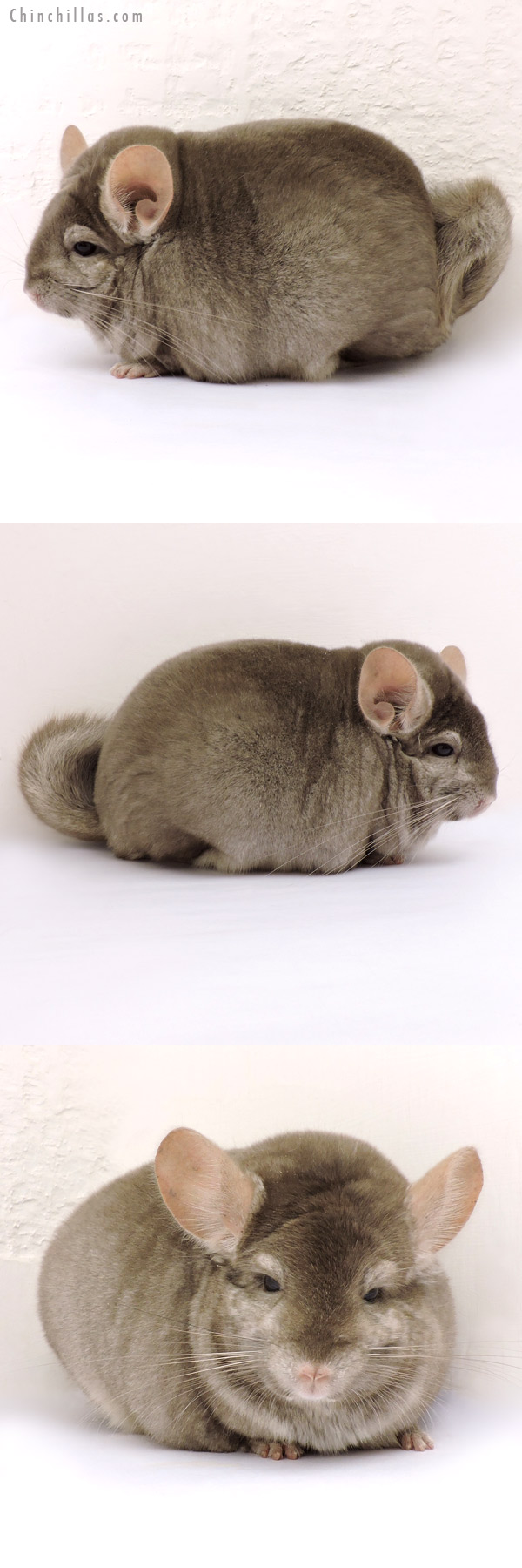 14229 Large Blocky Herd Improvement Quality Tan Male Chinchilla