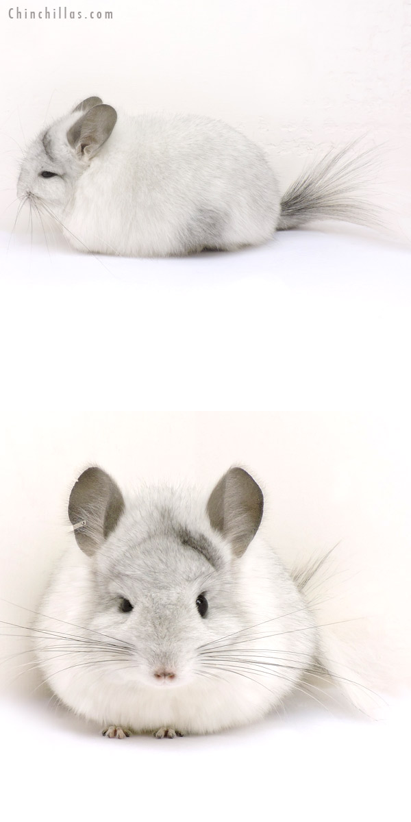 14215 Silver Mosaic CCCU Royal Persian Angora Female Chinchilla