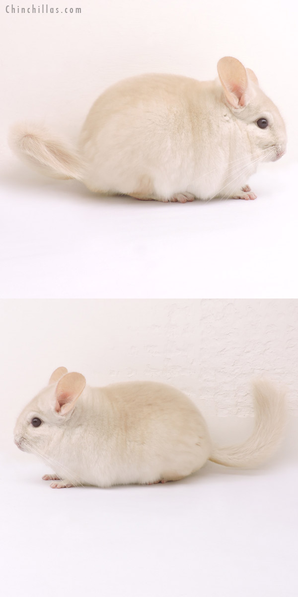 14228 Goldbar Male Chinchilla