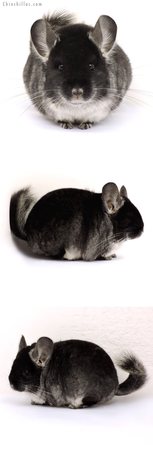 14221 Large Show Quality Black Velvet Female Chinchilla