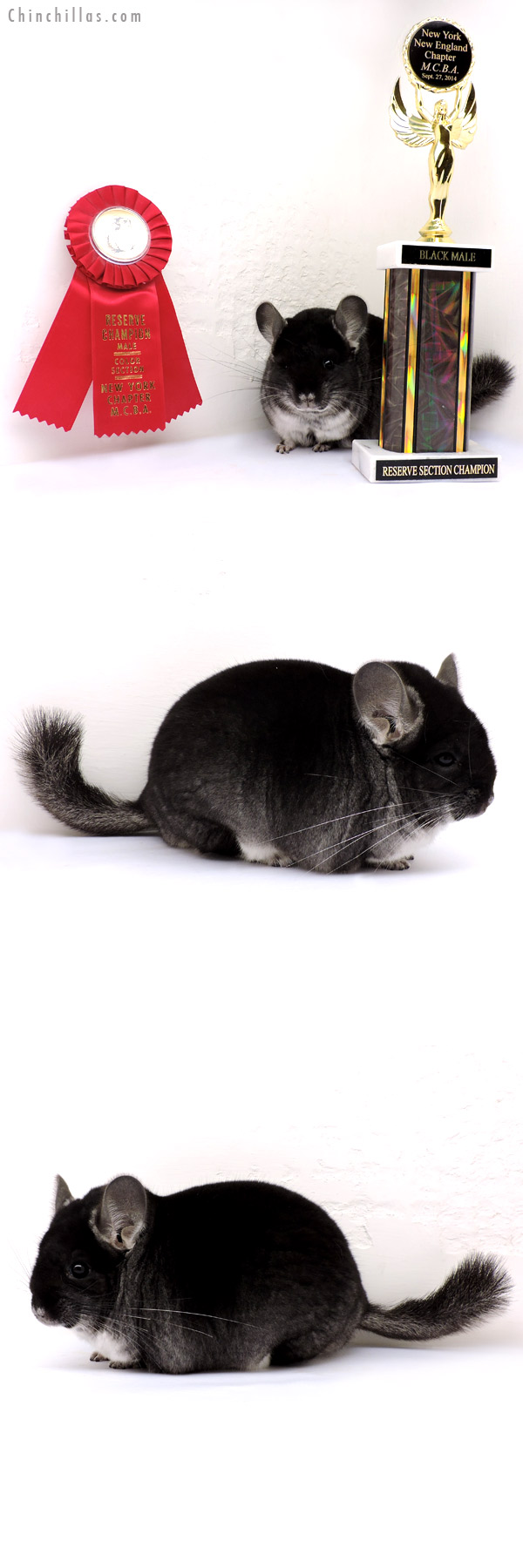 14246 Brevi type Reserve Section Champion Black Velvet Male Chinchilla