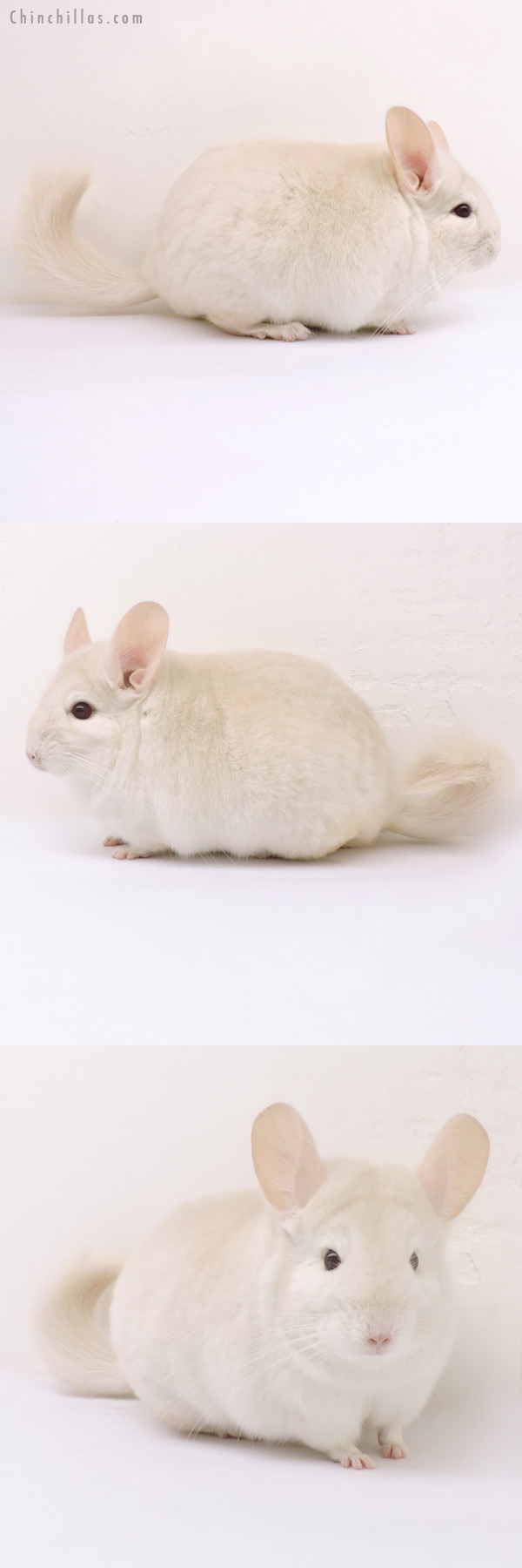 14235 Blocky Goldbar Female Chinchilla