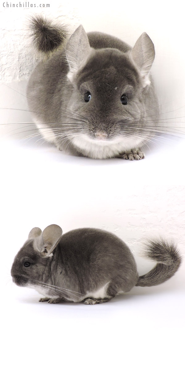 14234 TOV Violet Female Chinchilla